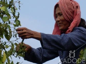 recolte poivre